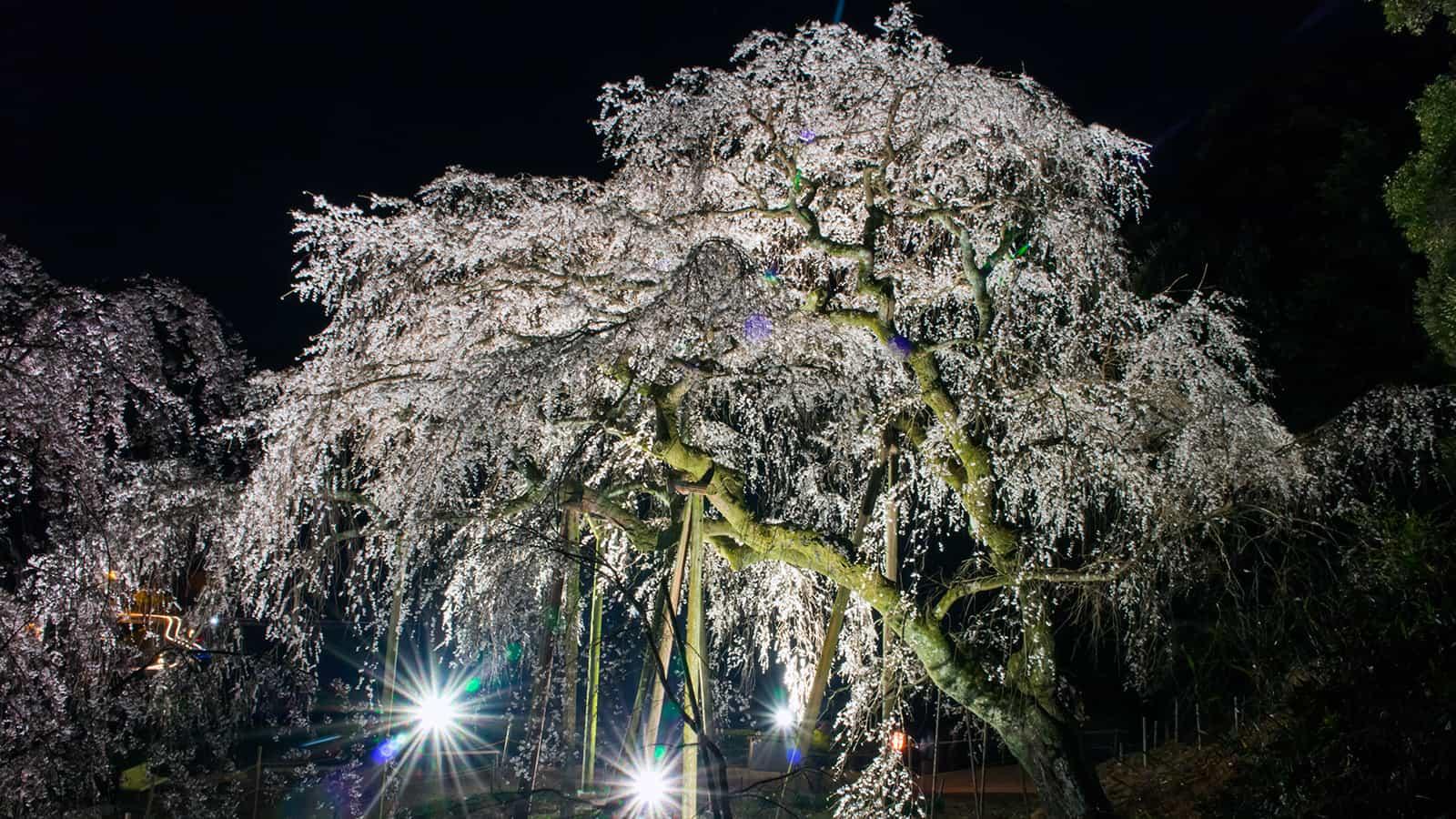 夜間スポットライトを浴び輝きを増す奥山田のしだれ桜 - -愛知県岡崎市にある観光、撮影スポット- -