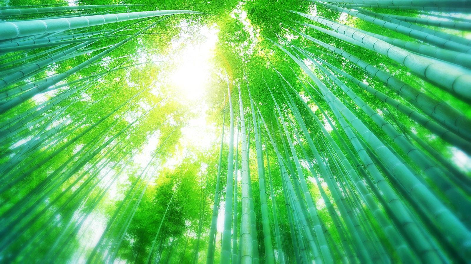 竹の庭の美しい竹林を見上げると、そこには絶景が - -神奈川県鎌倉市にある観光、撮影スポット- -